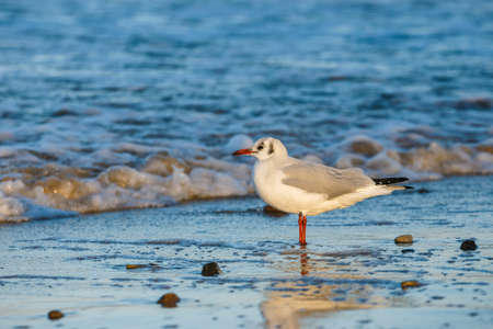 seagull standing on the sea shore during sunset