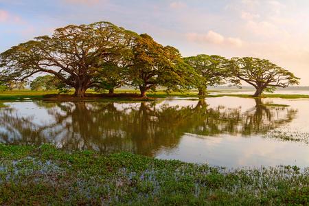 Trees by the lake and swamp, Tissamaharama, Sri Lanka