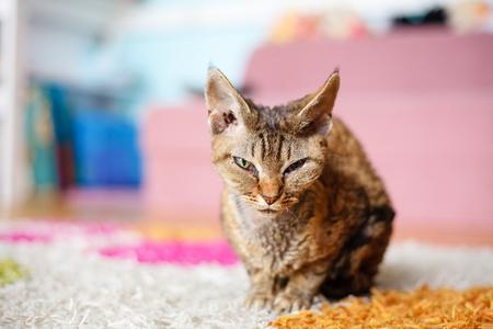 rex: Devon Rex purebred domestic cat