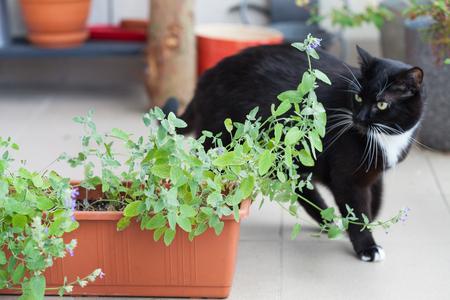 キャットニップ、コンテナー、歩き回る黒猫に成長緑ハーブのクローズ アップ 写真素材