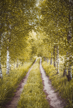 Alley of green birches Stock Photo