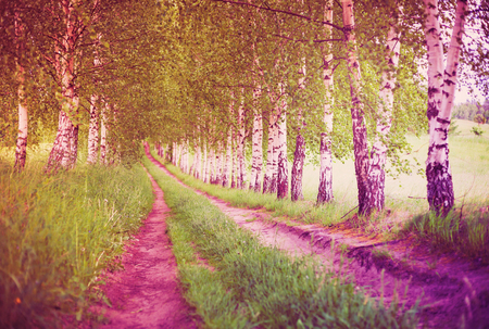 Ultra violet alley of green birches