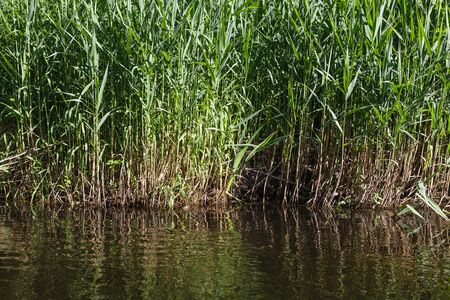 Rushes on the river bank