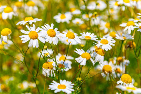 Camomile in the meadow Imagens