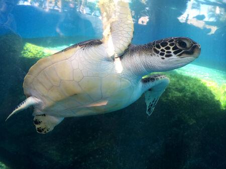 MAUI  HAWAII USA-Turtle animal        19    NOVEMBER 2014 Editorial