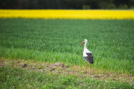 Stork walking on the field on a spring day Banco de Imagens