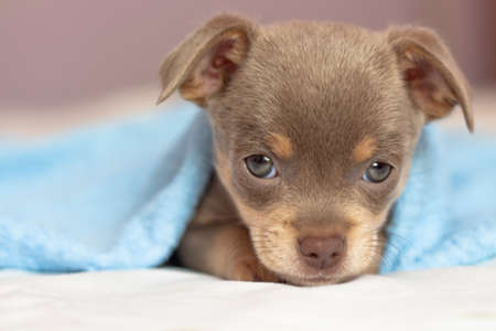 chihuahua puppy. The puppy lies on the bed under a blue blanket. Dog looking at the camera Archivio Fotografico
