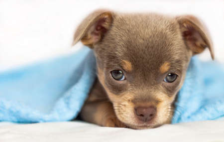 chihuahua puppy. The puppy lies on the bed under a blue blanket. Dog looking at the camera. Banner