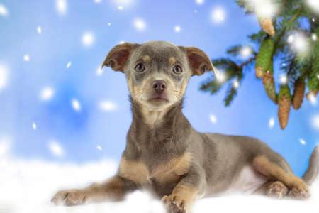 Christmas Dog. Chihuahua looks at the camera. Chihua on a Christmas snowy background. Dog gift for Christmas. Banner. Copspace