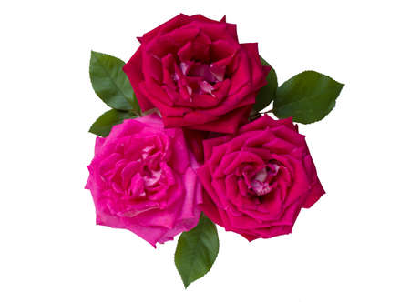 Beautiful pink flower in the garden. Rose flower background. Roses flower texture. Beautiful rose. Roses floral pattern. Three red roses on a white isolated background. Isolate.