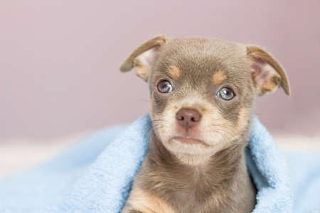 chihuahua puppy. The puppy lies on the bed under a blue blanket. Dog looking at the camera. copyspace