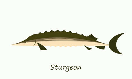 sturgeon: Sturgeon fish isolated on white background Illustration