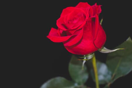 isolated red rose with black background Stock Photo