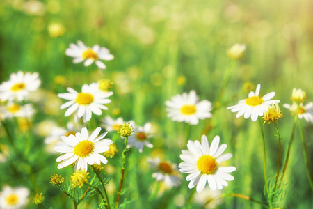Chamomile flowers field wide background in sun light. Summer Daisies. Beautiful nature scene with blooming medical chamomilles. Alternative medicine. Camomile Spring flower background Beautiful meadow Stock Photo