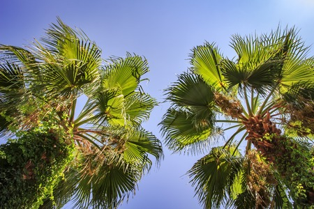 Two green palms against the blue sky. Tropical summer vacation concept
