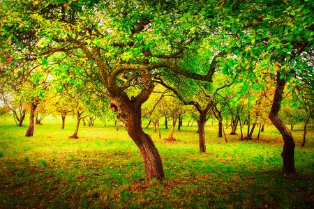 Jardin vert pomme de printemps. Nature printanière Paysage de beaux arbres dans le jardin vert sur une journée ensoleillée.