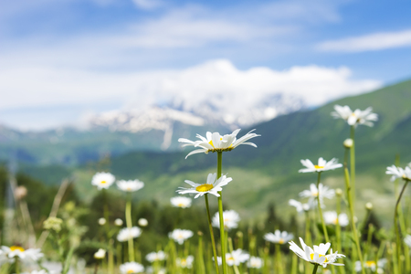 White camomile flowers on green meadow on hill on blurred background of snowy mountains in clear sunny summer day. Georgian wild nature, Svaneti region 版權商用圖片