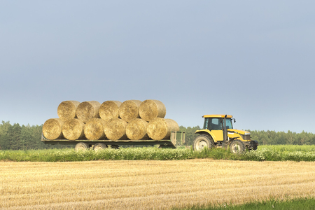 A tractor moves a bales of hay from a wheat field in a trailer after harvesting