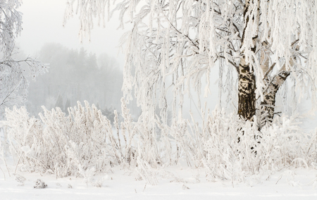 Winter nature background. Hoarfrost on branches of trees. Cold snowy weather. Frosty winter. Snowy plants. Christmas and New Year background. Amazing winter.