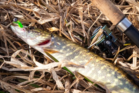 Pike fish and spinning on yellow grass near river shore. fishing trophy. Fisherman caught pike Imagens