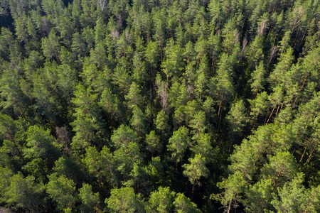 Forest aerial view. Pine trees in forest drone view