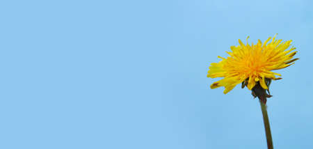 One yellow dandelion on a blue background with horizontal orientation copy space.