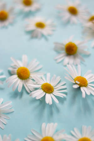 many white daisies on a blue background top view. laid out randomly