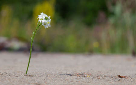 A white flower grows through a crack in the asphalt. The concept of the power of nature and ecology.copyspace for text