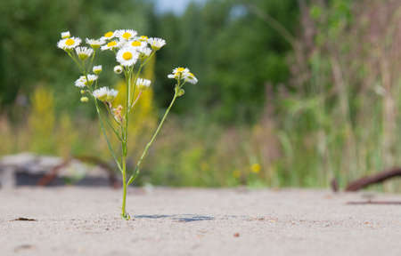 White daisy flower growing through a crack in concrete. The concept of the greatness of nature and ecology.