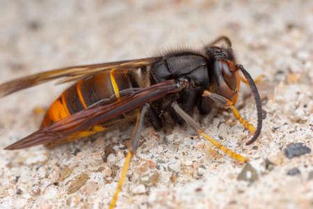 Vera vespa asiatica, detta anche Vespa velutina macrofotografia
