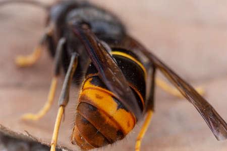 Echte asiatische Wespe, auch Vespa Velutina Makrofotografie genannt Standard-Bild