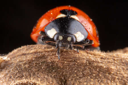 Tiny red ladybug with 4 spots on brown leaf macro photography 免版税图像