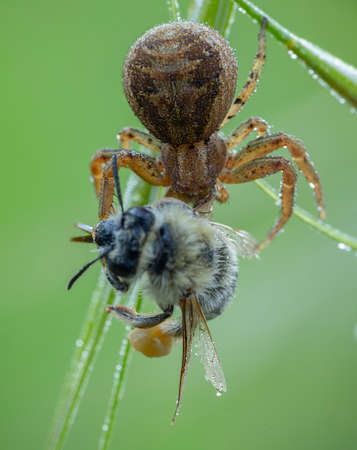 Xysticus spider hunter eating small caught died honeybee