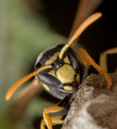 European Polistes galicus wasp hornet taking care of his nest and larvae 免版税图像