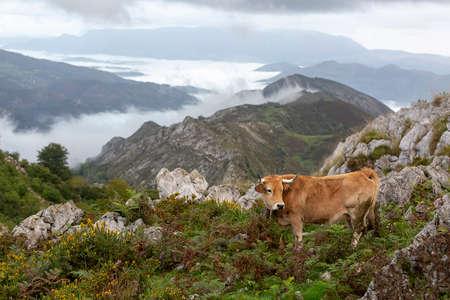 Schöne Kuh ruht am Berg mit fernen Wolken