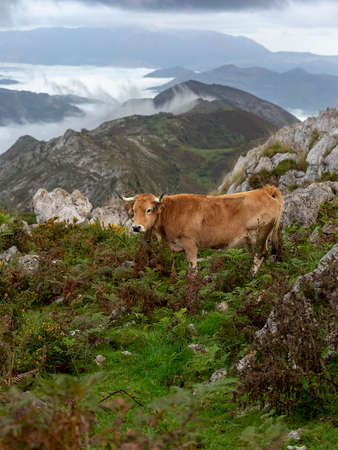 Beautiful cow resting at mountaing with distant clouds