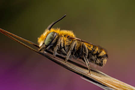 Male of Megachile sp. sleeping attached to a branch