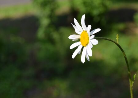 Chamomile flower in the park in a sunny day .