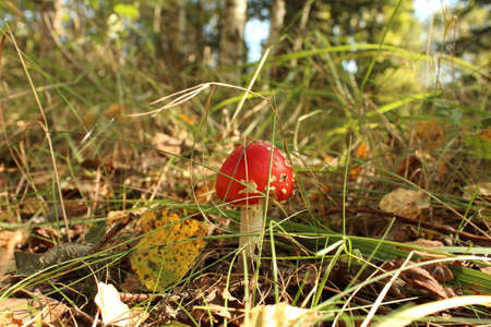 formosa: Autumn fly agarics in the wild forest