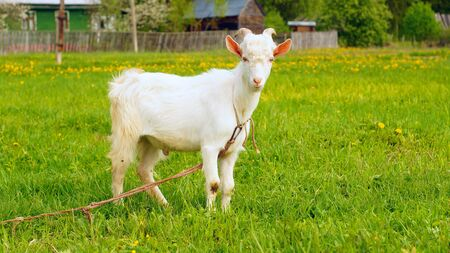forelock: Funny young goat with forelock on the meadow Stock Photo