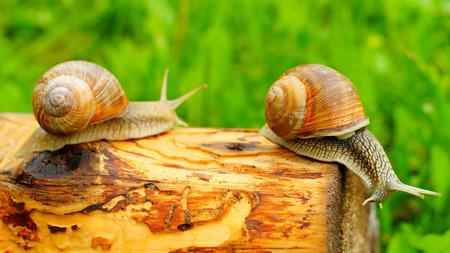 Grape snails