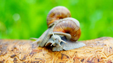 Big snails struggling with each other Stock Photo