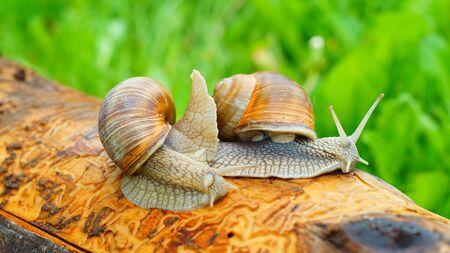helical: Horny grape snails creeping along the log