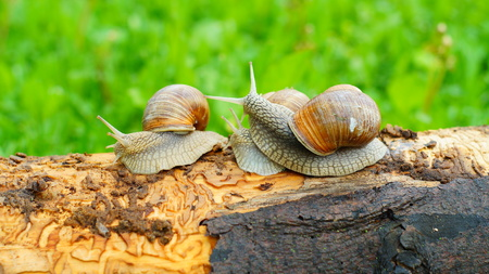 helical: Three big snails playing on the log