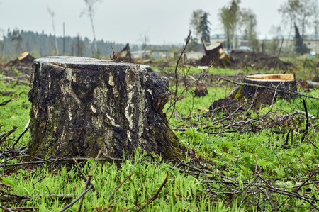 Birch stump on the clearing