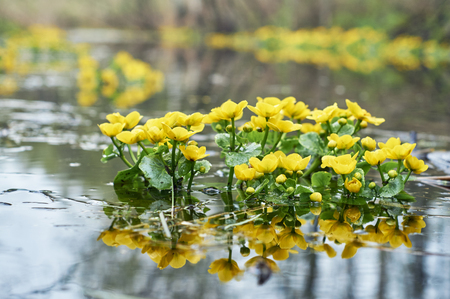 Bright Yellow Caltha flowers in the body of water Imagens - 78484027