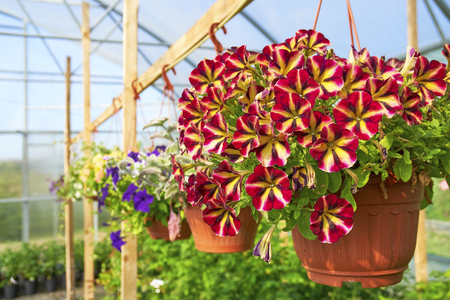 Multicolored petunia groing in hanging pot Banco de Imagens
