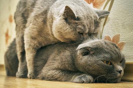 Purebred cats make love