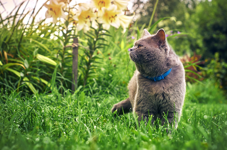 Male purebred cat in the summer garden in the evening Stock Photo