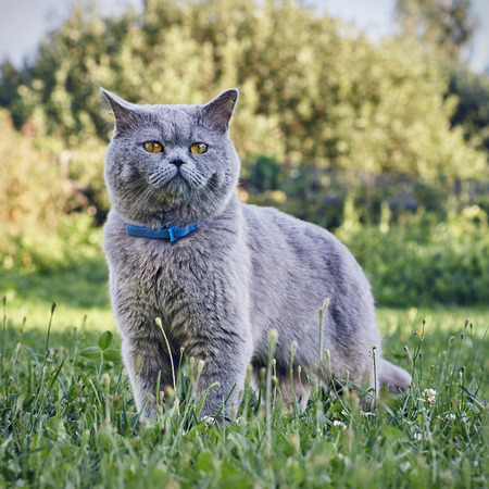 Purebred cat in green grass outdoors Stock Photo